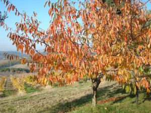 Cherry tree in Tuscany Florence