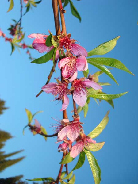 Apricot Blossoms in bright pink - vibrant and trendy