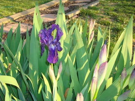 Tuscan Garden and the Viola Iris