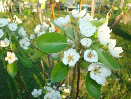 Pear Tree Blossoms, we are hoping they are FORTUNATA