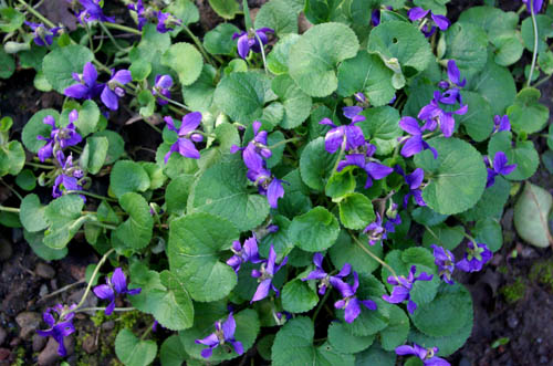 Wild violets in Florence Italy