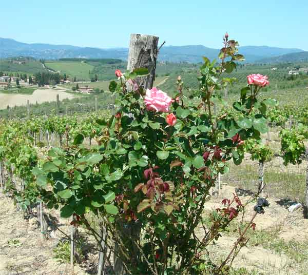 Roses and Nomination Jewelry in Tuscany