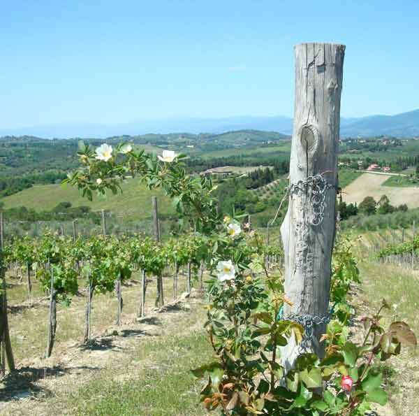 Roses, vineyards and Leather Handbags in Tuscany