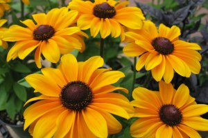black eyed susans in Tuscany Italy